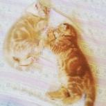 котенок британский персиковый, мраморный, рыжий, Тюмень