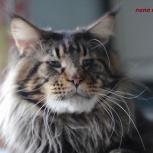 Великолепные котята породы мейн кун, Тюмень