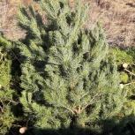 Хвойные деревья сосны оптом, Тюмень