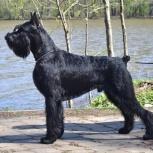 Ризеншнауцер щенки чёрного окраса, Тюмень
