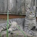 Стильный котик Серый ищет семью, Тюмень