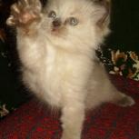 Невский котёнок, Тюмень