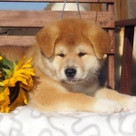 Породные щенки акита-ину, Тюмень