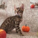 Бенгальский котик для души, Тюмень