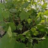 Саженцы винограда, Тюмень