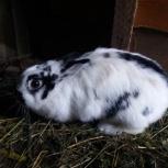 Декоративная крольчиха, Тюмень