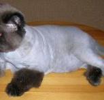 Стрижка кошек, кастрация котов на дому, Тюмень