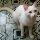 Кошка, белоснежное чудо Розочка ищет дом, Тюмень