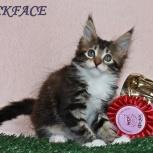 Котята мейн-кун от титулованных родителей, Тюмень