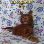 Котенок мейн кун красный солид. Шоу класс, Тюмень
