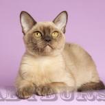 Бурманские кошечки, Тюмень
