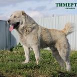 Кобель среднеазиатской овчарки 3 года, Тюмень