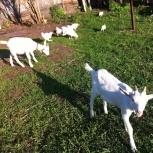 продаются козы породистые, недорого,, Тюмень