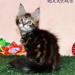 Котик мейн-кун от титулованных родителей, Тюмень