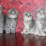 Шотландские котата, Тюмень