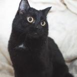 Молодой гладкошёрстный котик Черныш, Тюмень