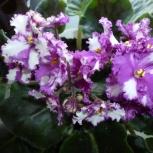 Цветы домашней Фиалки, Тюмень