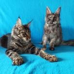 Кошечки мейн кун из питомника, Тюмень