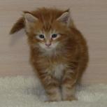 Яркий красный мраморный котенок- чертенок!!!, Тюмень