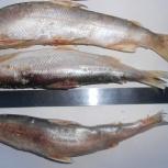 Рыба ряпушка, Тюмень