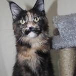 Кошечка мейн-кун  в любимки, Тюмень