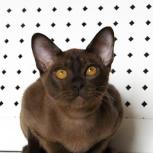 Бурманские котята, Тюмень