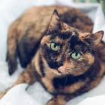 Трёхцветная Маша кошка будет радость ваша, Тюмень