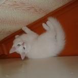 Отдам белого котенка, Тюмень