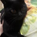 Найден кот черный  породистый, Тюмень