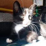 Каштановых котята с симпатичными белыми лапками, Тюмень