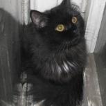 Черныш - пушистый чёрный котик с белым галстучком ищет семью, Тюмень