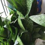 Щучий хвост, ростки, Тюмень