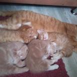 котятенок девочка, мальчик,рыжий, молочный британец, шотландец, Тюмень