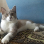 Дымчатая кошечка-подросток Чипа ищет семью, Тюмень