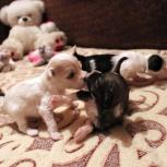 Очаровательные щенки китайской хохлатой собаки, Тюмень