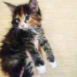 Котенок мейн-кун девочка, Тюмень