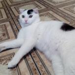 Найден котик породы скоттиш-фолд,окрас Ван., Тюмень