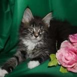 Полидактильные  котята мейн кун из Royallegacy, Тюмень