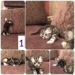 Шотландские котята, Тюмень