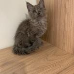 Продам котят майн- кунов., Тюмень