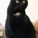 Благородная чёрная кошечка Багира ищет дом, Тюмень