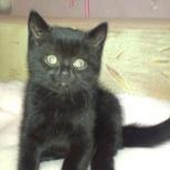 Британские котятки, Тюмень