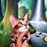 Крупные чистопородные бенгальские котята, Тюмень