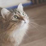 Сибирская кошечка-подросток ириска ищет семью, Тюмень