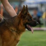 Высоко породные щенки немецкой овчарки, Тюмень