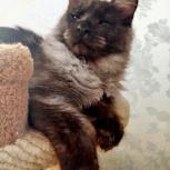 котята мейн кун  из питомника, Тюмень