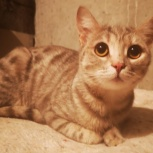 Молодая кошечка Муся1, Тюмень