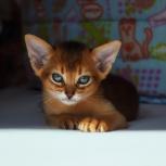 Абиссинские котята, Тюмень