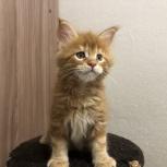 Мейн кун котята, Тюмень