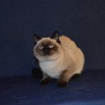 Продаётся шотландский кот, Тюмень